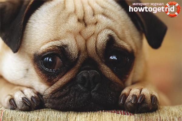 Creșterea lacrimării ochilor la cățeluși