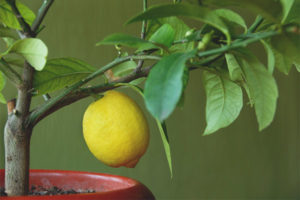 Citronblade falder