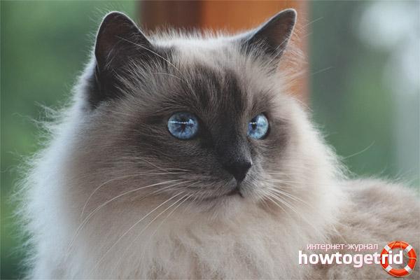 Birmas kaķis