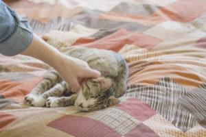Com deslletar un gat per escriure sobre un llit