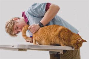 Com fer un enema per a un gat