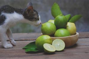 Quina olor no pot suportar els gats