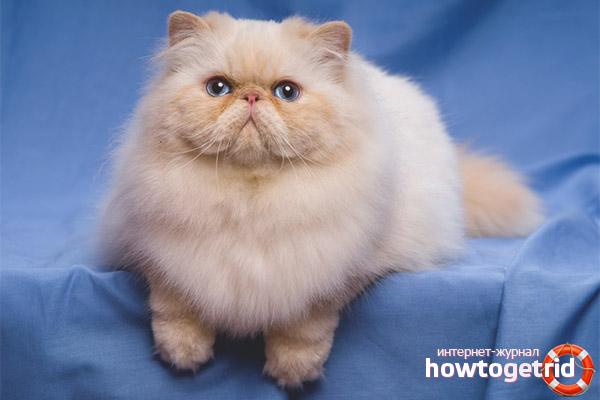 Persiešu kaķis