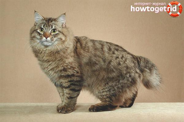 גזעי חתולים ללא זנב