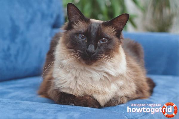 חתול באלינזי