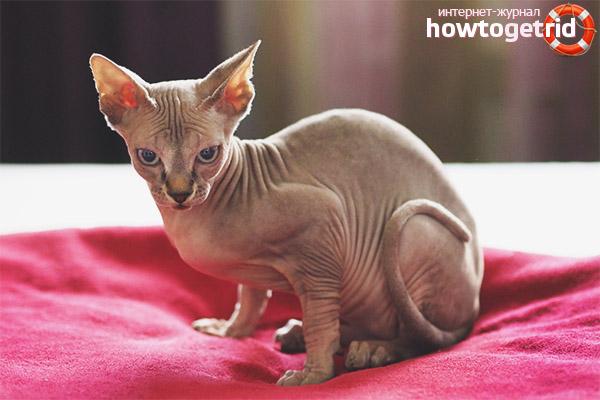 גזעי חתולים היפואלרגניים