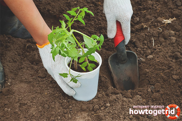 Plantera tomater