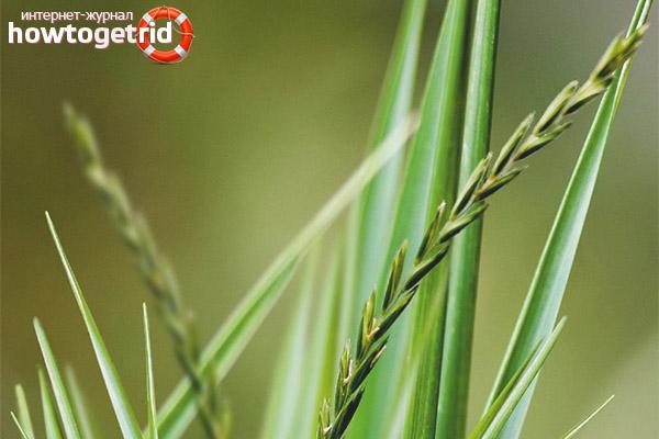 Medicinska egenskaper och kontraindikationer för vetegräs