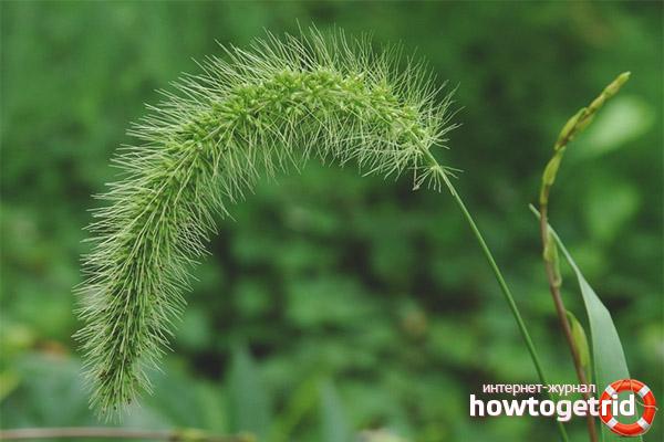 Vete gräs recept
