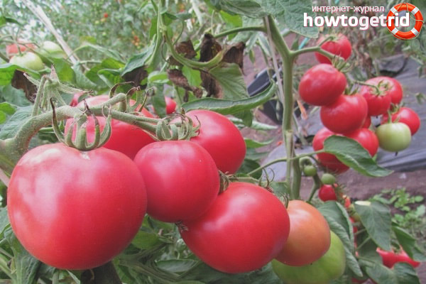 Tomat Premier