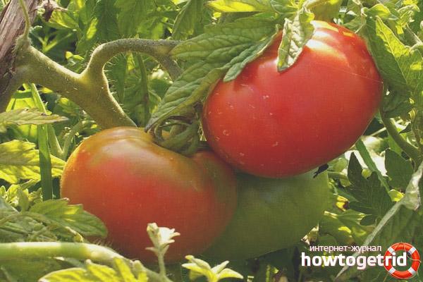 Growing Tomatoes Premier