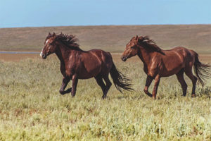 סוס פרא