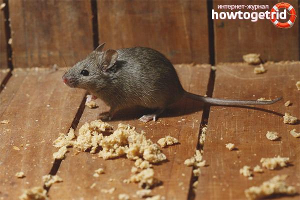 עכבר בית
