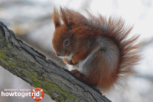 Esquirol caucàsic
