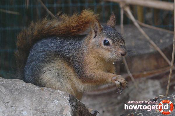 Estil de vida caucàsic d'esquirol