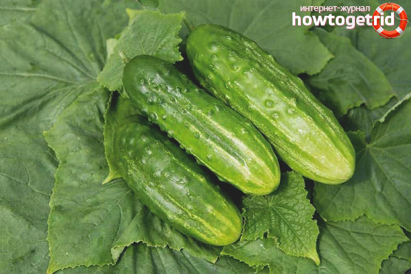Salatalık çeşitlerinin yetiştiriciliğinin özellikleri Bol