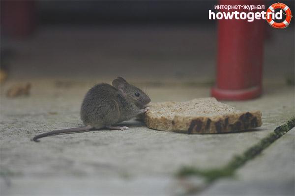 כוח עכבר הבית