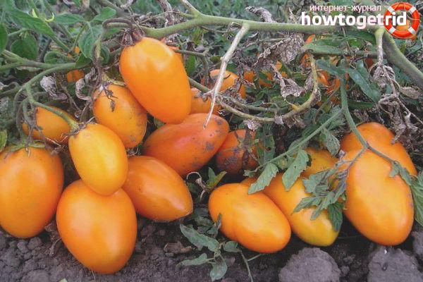Tomaten der Sorte Eldorado