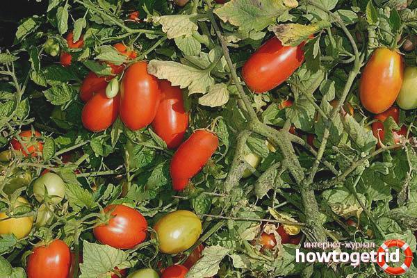 Erkol Tomaten