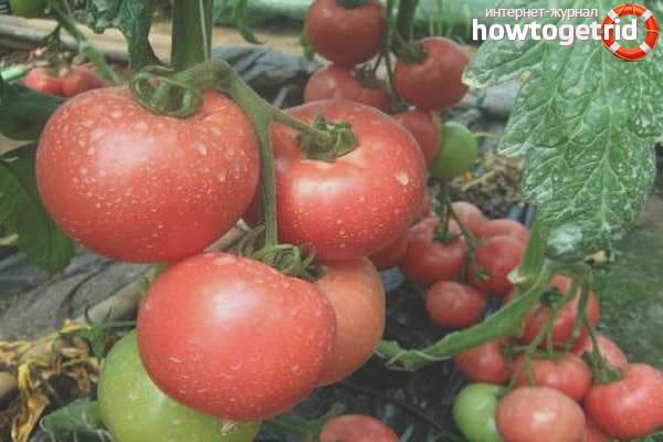 Esmira F1 Tomatoes