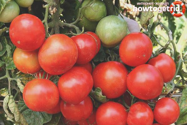 Tomatensorte Schelkovsky früh