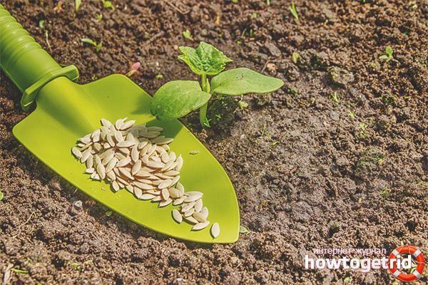 Gurken Serpentin pflanzen