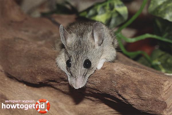 גידול עכבר בית