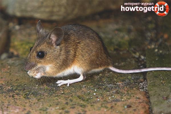בית גידול לעכבר הבית