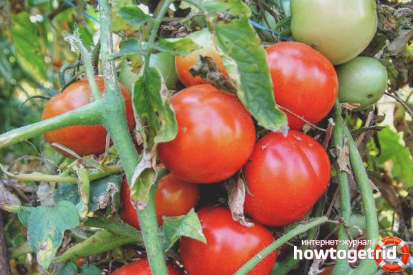 Tomaten Ale