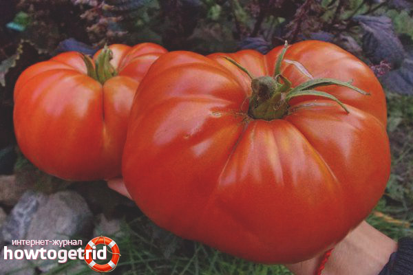 Tomaten Shuntuk Riese