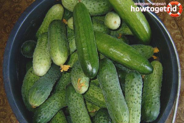 Anbau von Gurken Anbau Selbstperfektion F1