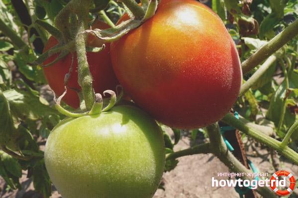 Wachsende Tomaten Scheherazade