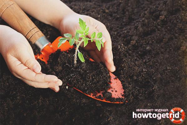 Preparação do solo para tomate Abacaxi preto