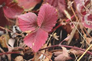 Jordgubbsblad blir röda