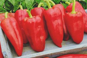 Pepper Morozko