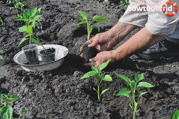 Pflanzensämlinge von Pfeffer Morozko in den Boden verpflanzen