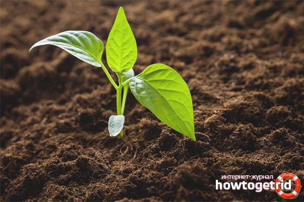 Pflanzensämlinge von Pfeffer Les in den Boden pflanzen