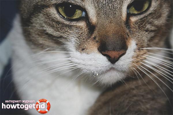 Ce trebuie să faci dacă o pisică este înnebunită