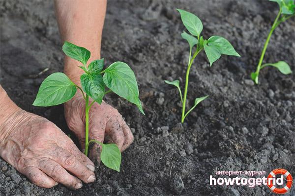 Sadzenie sadzonek pieprzu Ratunda w szklarniach